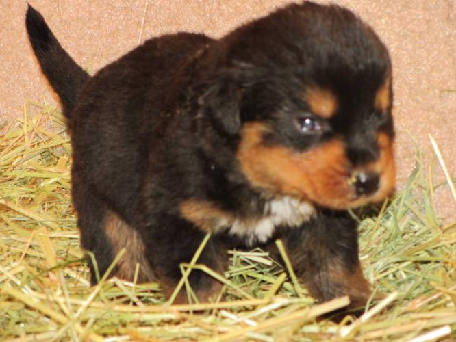 Rottweiler Crossed With Bernese Mountain Dog X Black Lab Puppies InRottweiler Black Lab Puppies