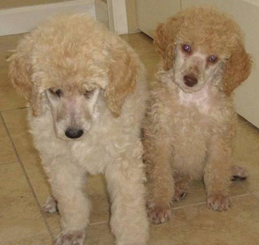Standard Poodle Puppies for sale in 100 Mile House, British Columbia ...
